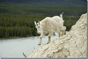 moutaingoat_01